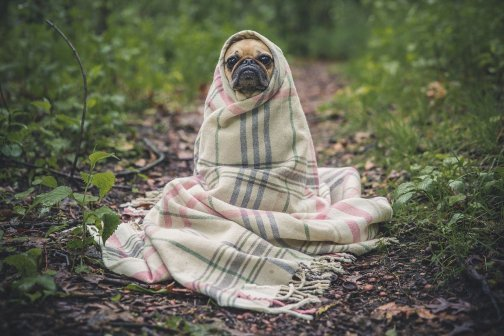 image of pug wrapped in a blanket