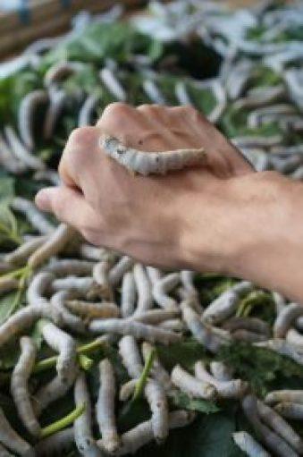 Holding a silkworm