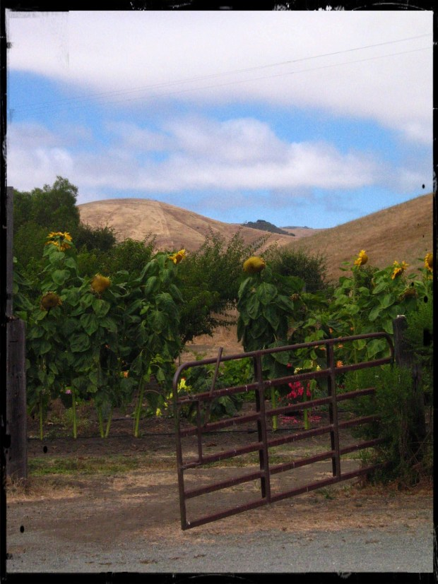 Alfredo pointed to a side road running into the fields and inland hills near Cambria. Barns and ranch houses nestled among clusters of oaks. Cows and the occasional horses grazed. I had cut the meter at $40 and was saving them at least $25.
