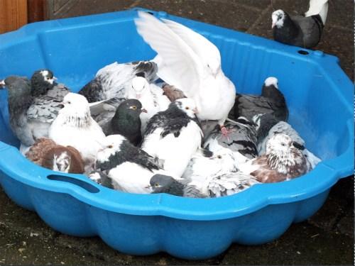 Birmingham Rollers bathing