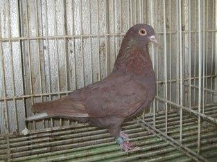 Recessive red Birmingham Roller hen