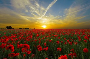 Poppies mean remembrance on Memorial Day.