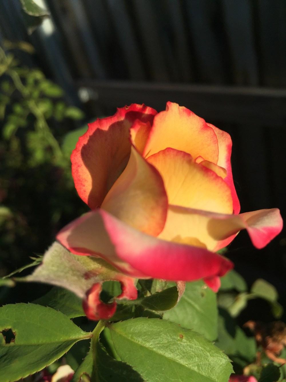 Dream Come True rose   The Rose Table