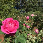 Dallas Arboretum Rose Garden | The Rose Table