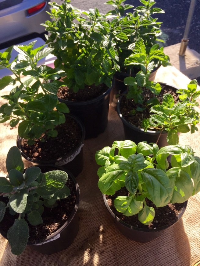 Plants for Sale   The Rose Table