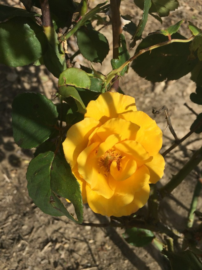 Sungold rose | The Rose Table