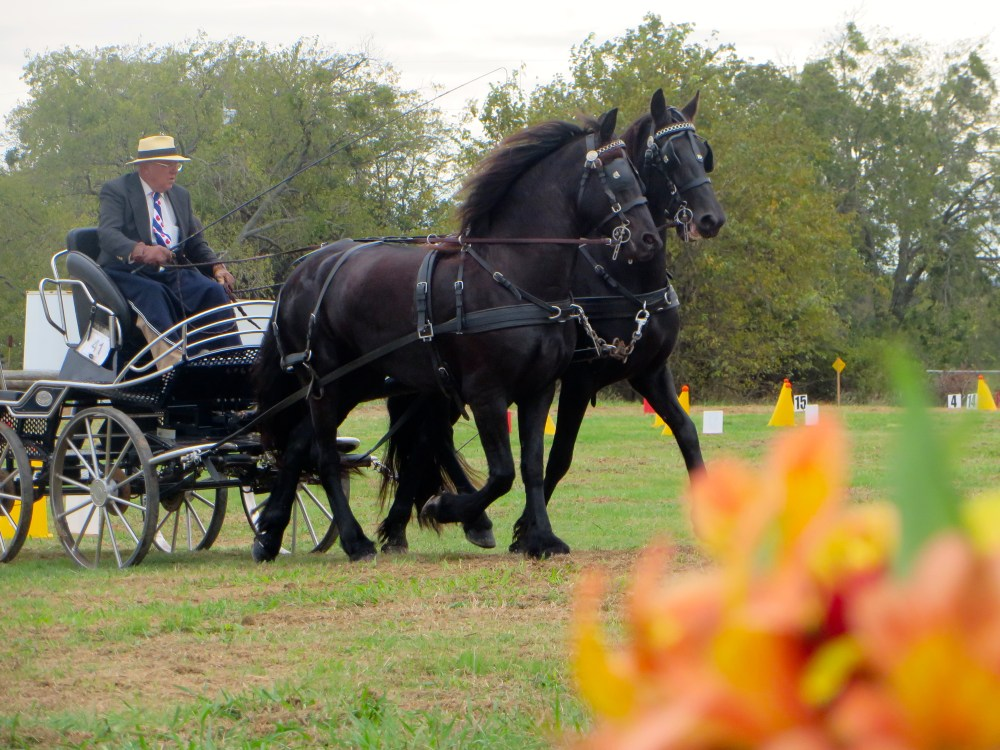 Tejas Carriage Association at Black Star Sport Horses | The Rose Table