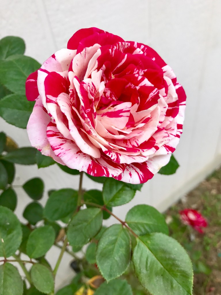 Scentimental Rose   The Rose Table