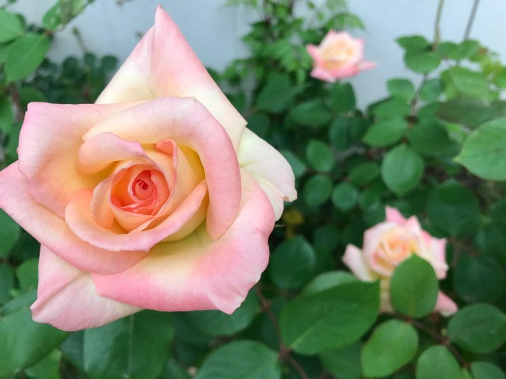 Elegant Lady Rose | The Rose Table