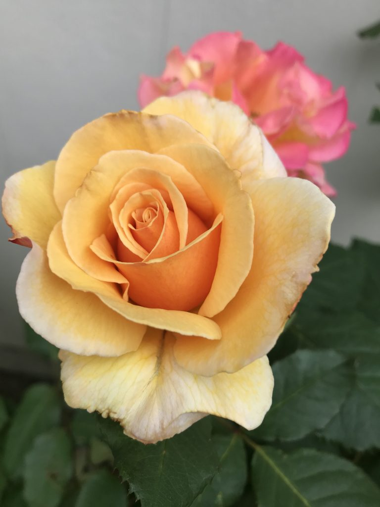 Tahitian Sunset Rose | The Rose Table