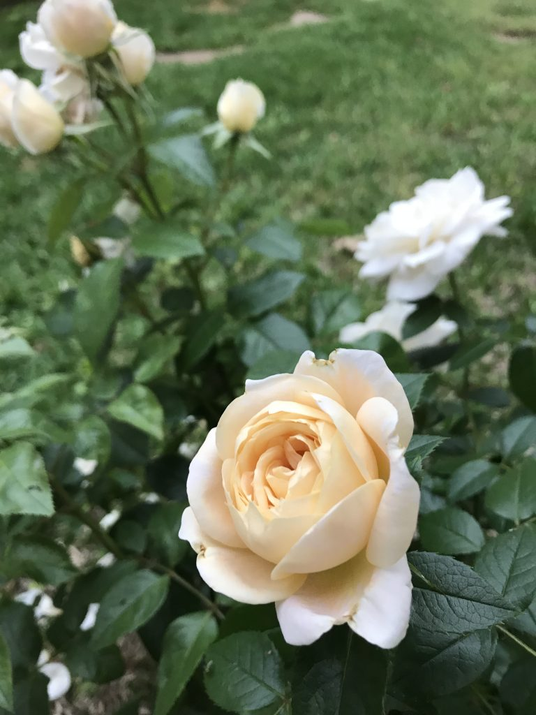 Lion's Fairytale Rose | The Rose Table