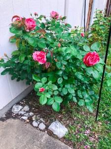 Top Garden Blog | The Rose Table