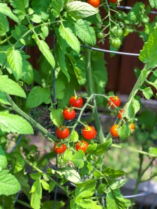 How to Grow Tomatoes in a Raised Vegetable Garden