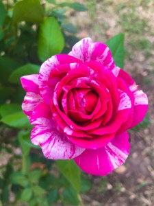 Show Your Stripes, Rose of the Year Jackson and Perkins, Top Garden Blogger