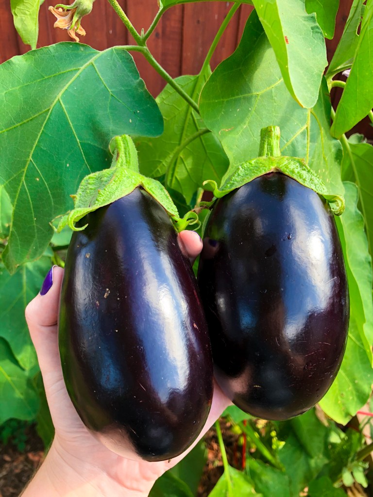 How to Grow Eggplant in Raised Bed, Containers