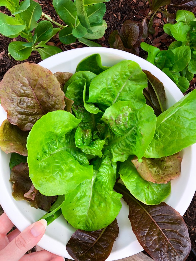 How to Grow Lettuce in Raised Bed Garden, Lettuce Grow Guide