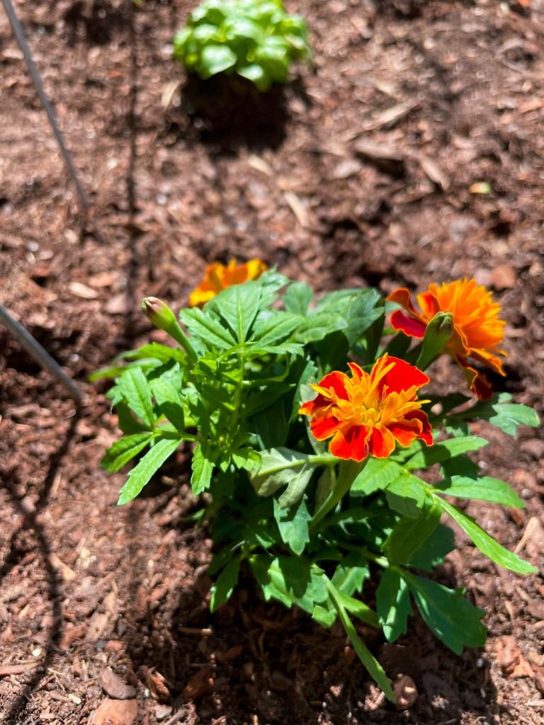 Marigolds in a Vegetable Garden