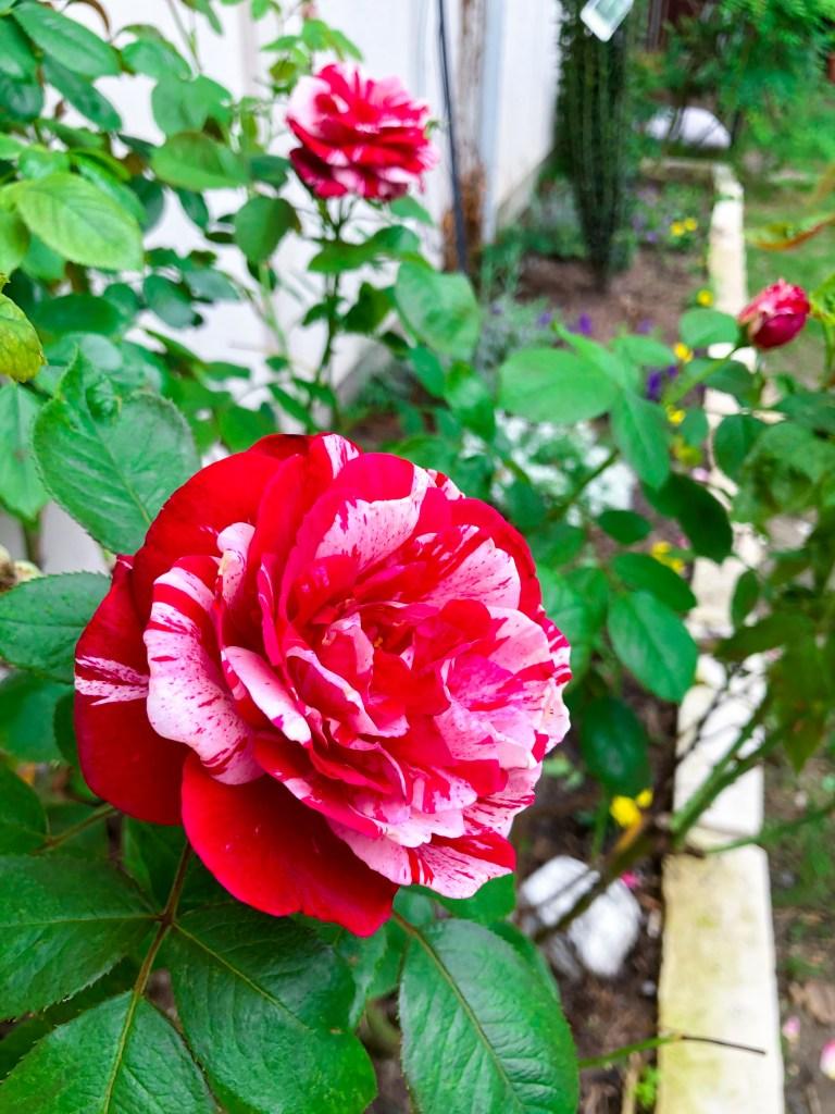 Scentimental Rose