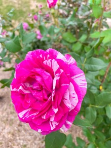 Show Your Stripes Rose
