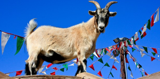 Goat stands on a wooden roof at the Pierce College Farm Center. In Woodland Hills, Calif. 91371 on Sept. 13th 2012. Photo: Bridget Smyth