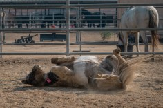 A miniature horse rolls on the ground at the Equestrian Center. Animals from the San Fernando alley were evacuated to Pierce because of the Saddle Ridge Fire. Photo by Katya Castillo.