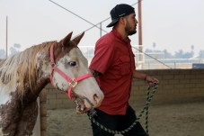 Gerardo Bacerra leads evacuated horse to Pierce College's Large Animal Evacuation Center at the Equestrian Center in Woodland Hills, Calif. due to the Saddleridge Fire on Oct. 11, 2019. Photo by Cecilia Parada.
