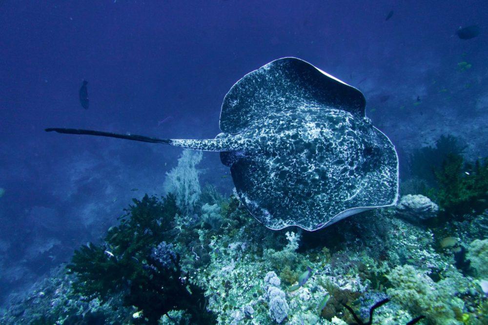 Raja Ampat Liveaboard - Marbel ray