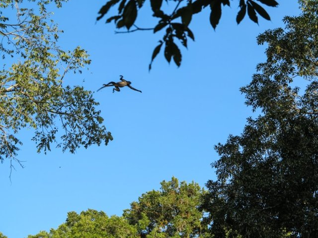 Spider monkey in mid air