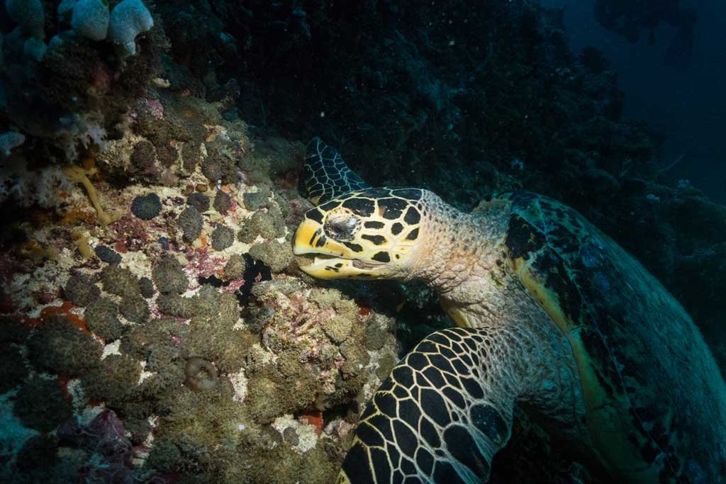 A sea turtle eating at night