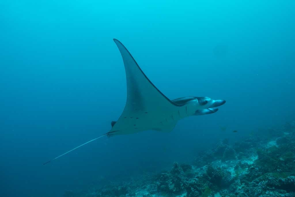 Dive the maldives Manta Ray