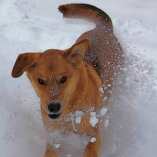hypothermia in dogs, winter pet hazards, dog playing in snow