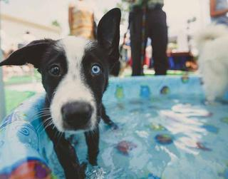 teaching your dog to swim, dog in pool, dog safety