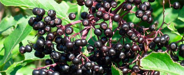 elderberries as seen on www.thenorthwestgardener.com