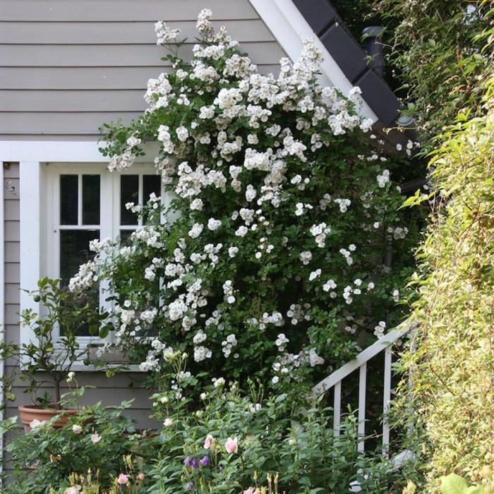 Cottage Garten - Rosen an Hauswand