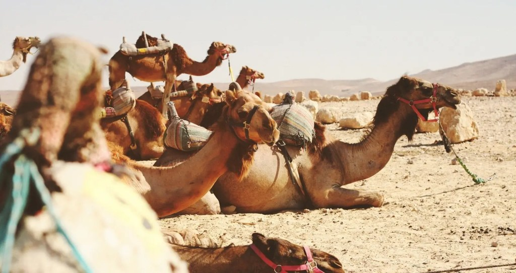 Camels in the Desert - Remote Middle Eastern Desert