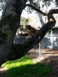 Rosie the tree-climbing dog perches in an oak.