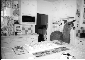 Blackie the Alpaca makes herself at home in the Thelens' kitchen.