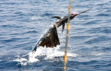 Sailfish season starting in southern Mozambique waters now! (c) Rato