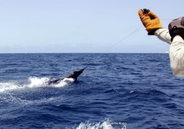 Got the leader...an another Blue Marlin released by Captain Duarte Rato and his team fishing off Cape Verde Islands (c) Duarte Rato