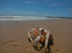 Crab at Praia do T