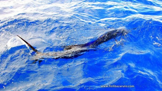 Natal snoek or sailfish? You can choose on the islands pal! (c_ Captain Duarte Rato