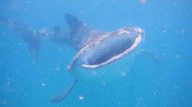 Whale Shark off Fatimas in Tofo, Inhambane, Mozambique