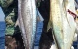 Cape Yellowtail have made their appearance in KZN