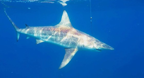 Although Zambezi Sharks are on the top of our hit list, these blacktips are also featured.