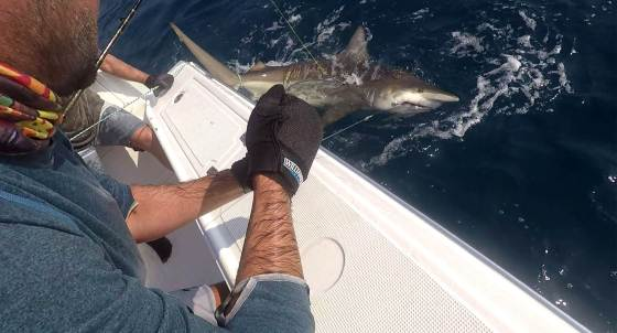 Calum Murie wires a hefty shark for tagging with a sonar tag that can be picked up by listening stations up and down the East Coast of Southern Africa.