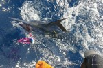 Tagging marlin with FishBazaruto.com