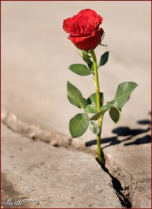 rose-growing-in-concrete-desert
