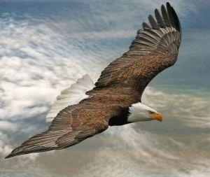 be8bc6232b24867c82878af4c29dd758--bald-eagles-the-eagles
