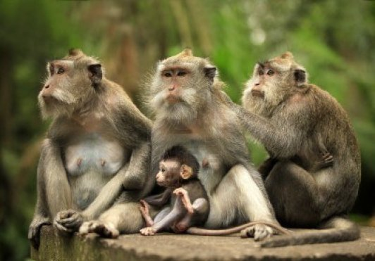 7696208-family-of-monkeys-bali-a-zoo-indonesia
