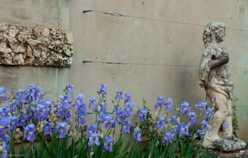 Irises a bit past their prime, but still lovely.
